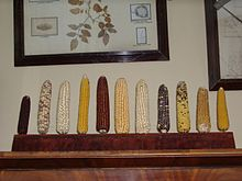 220px-Maize_diversity_in_Vavilovs_office_(3421259242)
